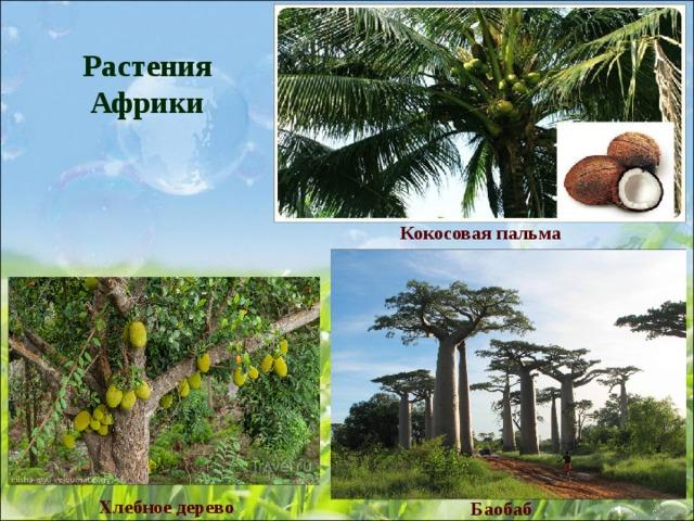 растения африки картинка с названиями хомяков, симптомы лечение