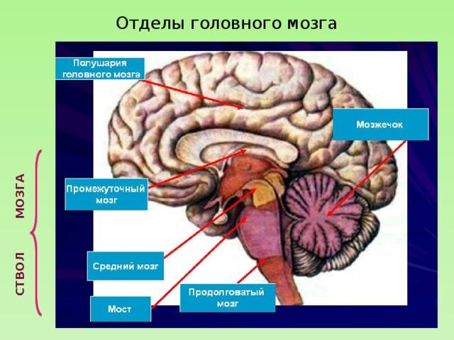 Изучение мозга человека доклад 4993