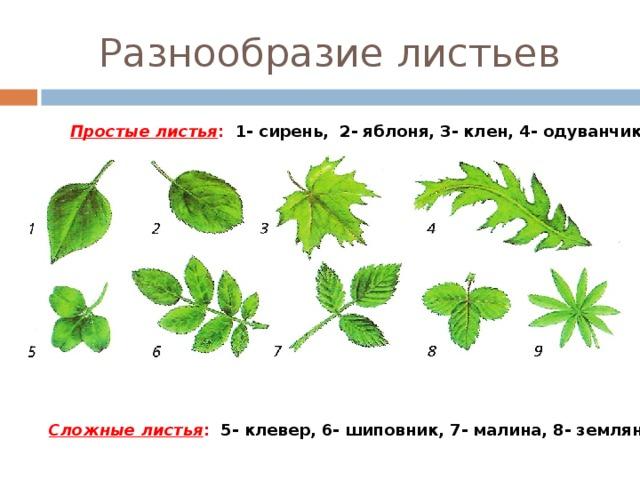 картинки простые и сложные листья примеры картинки того