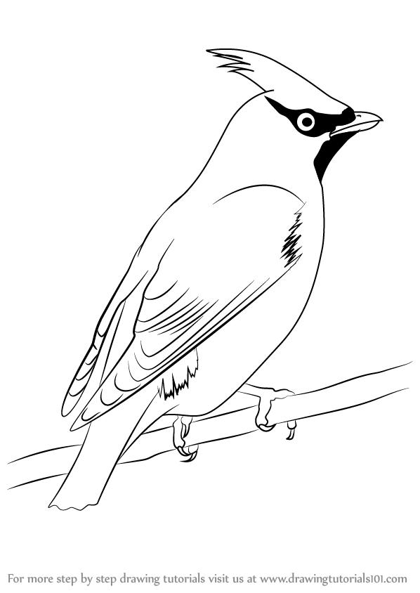 свиристель картинка черно-белая ели