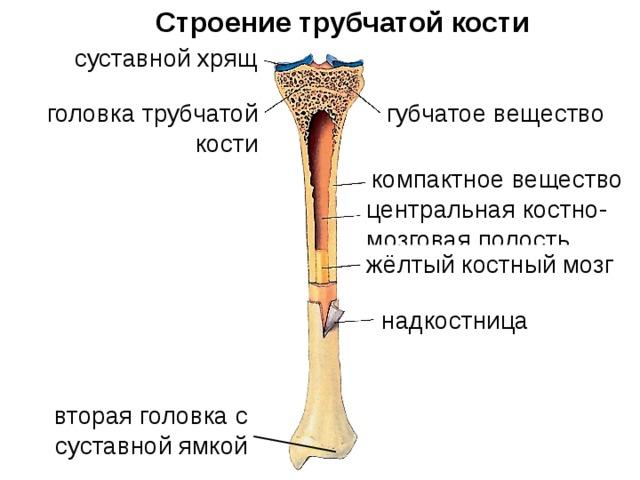 Картинки части кости