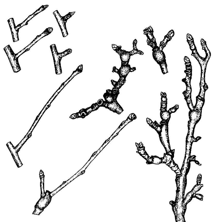 Плодовые образования букетные веточки, цветы