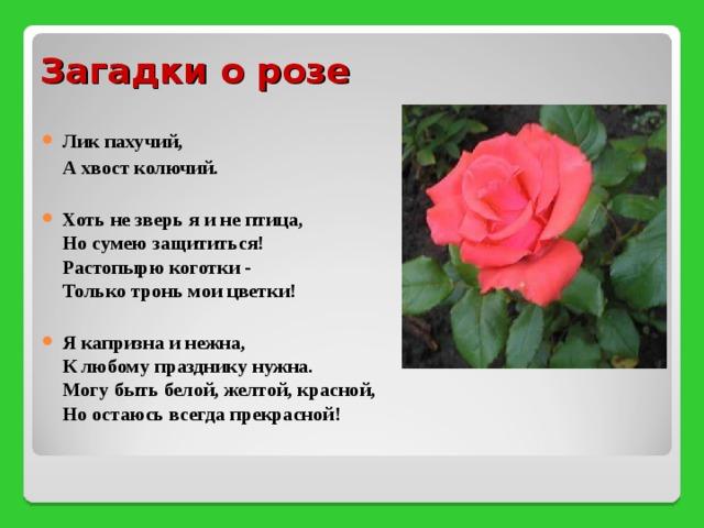 шрайвер стихотворение о розе для рабочего стола