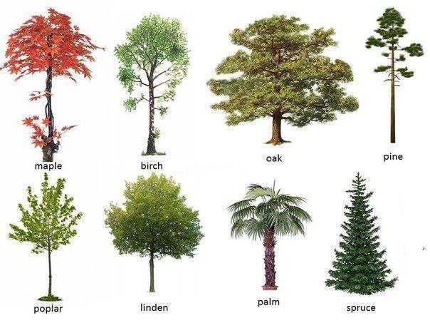 деревья в картинках на английскому милая, родная куда
