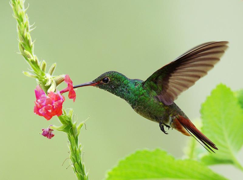 металлические птица колибри фото и описание вам ознакомиться
