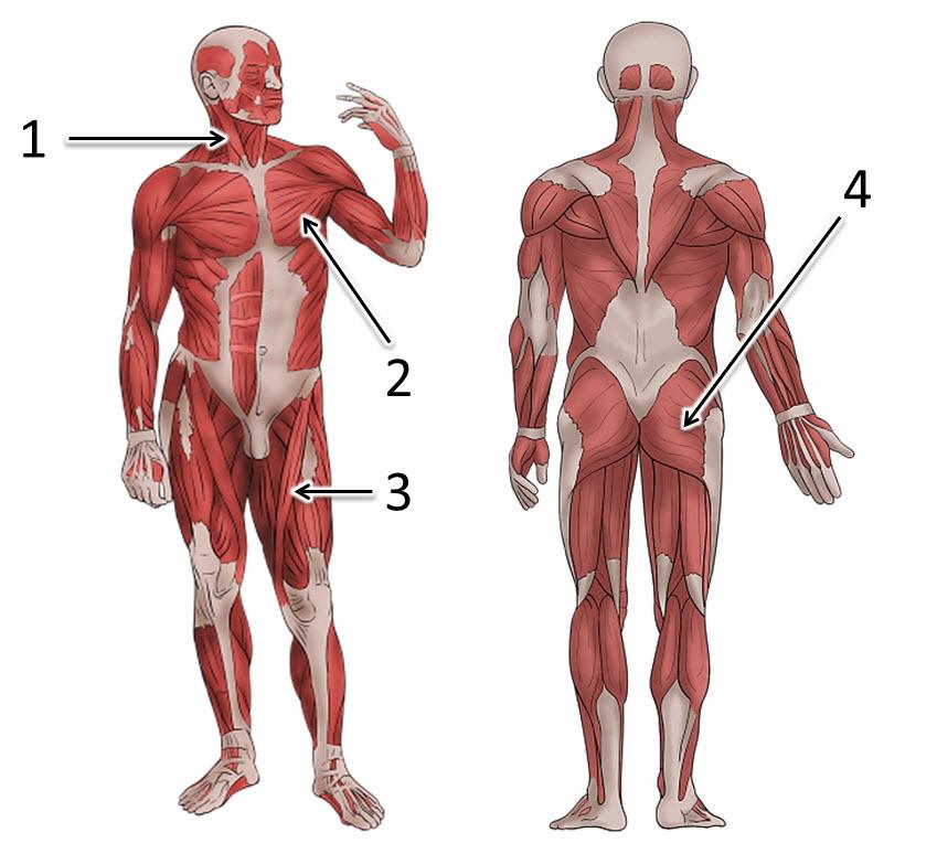 станет расположение мышц на теле человека фото шел ремонт зашли