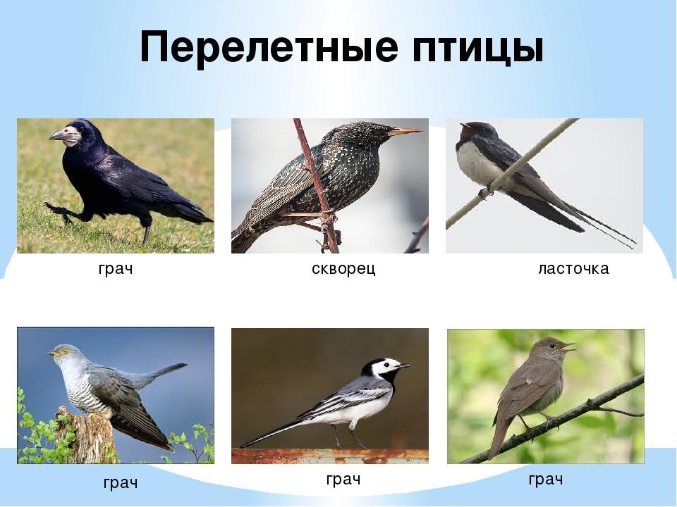 Перелетные птицы картинки и описания