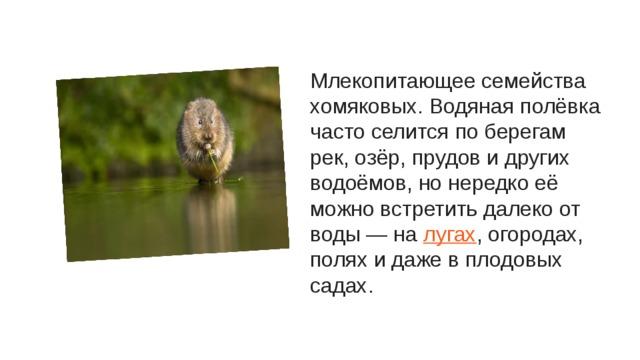 Млекопитающее семейства хомяковых. Водяная полёвка часто селится по берегам рек, озёр, прудов и других водоёмов, но нередко её можно встретить далеко от воды — на лугах , огородах, полях и даже в плодовых садах.