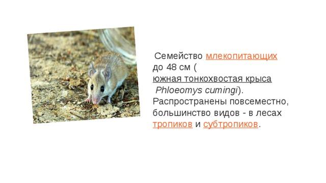 Семейство млекопитающих до 48 см ( южная тонкохвостая крыса Phloeomys cumingi ). Распространены повсеместно, большинство видов - в лесах тропиков и субтропиков .
