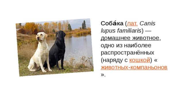 Соба́ка ( лат. Canis lupus familiaris ) — домашнее животное , одно из наиболее распространённых (наряду с кошкой ) « животных-компаньонов ».