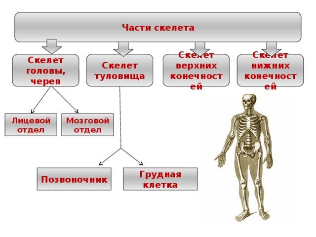 Части скелета Скелет верхних конечностей Скелет нижних конечностей Скелет туловища Скелет головы, череп Лицевой отдел Мозговой отдел Позвоночник Грудная клетка