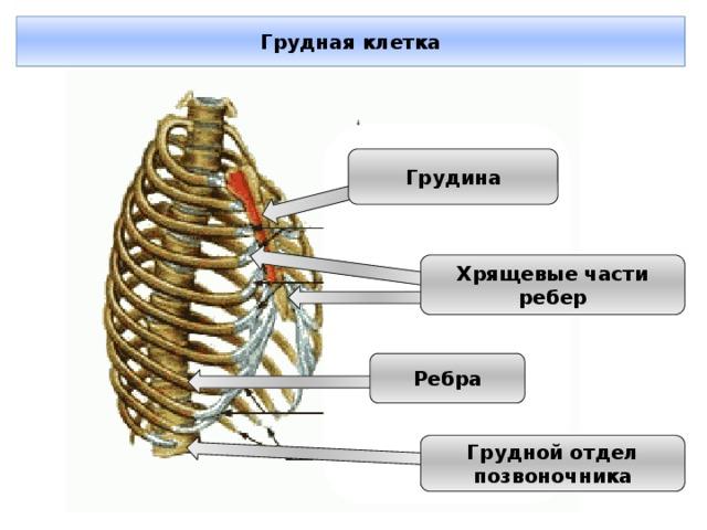 Грудная клетка Грудина Хрящевые части ребер Ребра Грудной отдел позвоночника