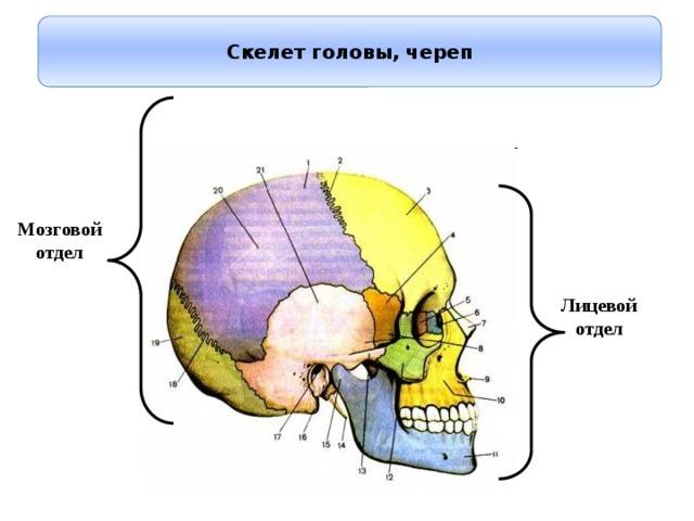 Скелет головы, череп Мозговой отдел Лицевой отдел