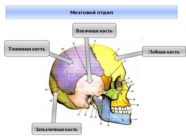 Мозговой отдел Височная кость Теменная кость Лобная кость Затылочная кость