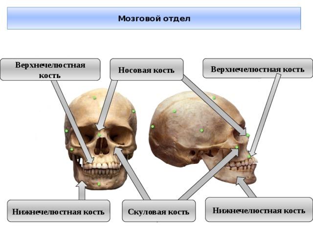 Мозговой отдел Верхнечелюстная кость Верхнечелюстная кость Носовая кость Нижнечелюстная кость Нижнечелюстная кость Скуловая кость