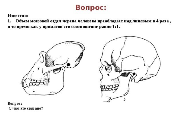 Вопрос: Известно: 1. Объем мозговой отдел черепа человека преобладает над лицевым в 4 раза , в то время как у приматов это соотношение равно 1:1. Вопрос:  С чем это связано?