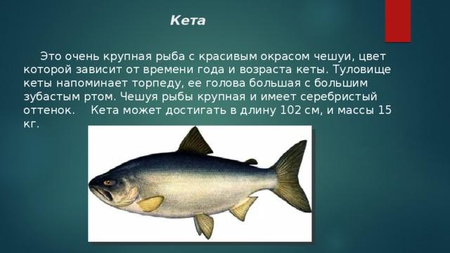многие рыба кета фото и описание женщины