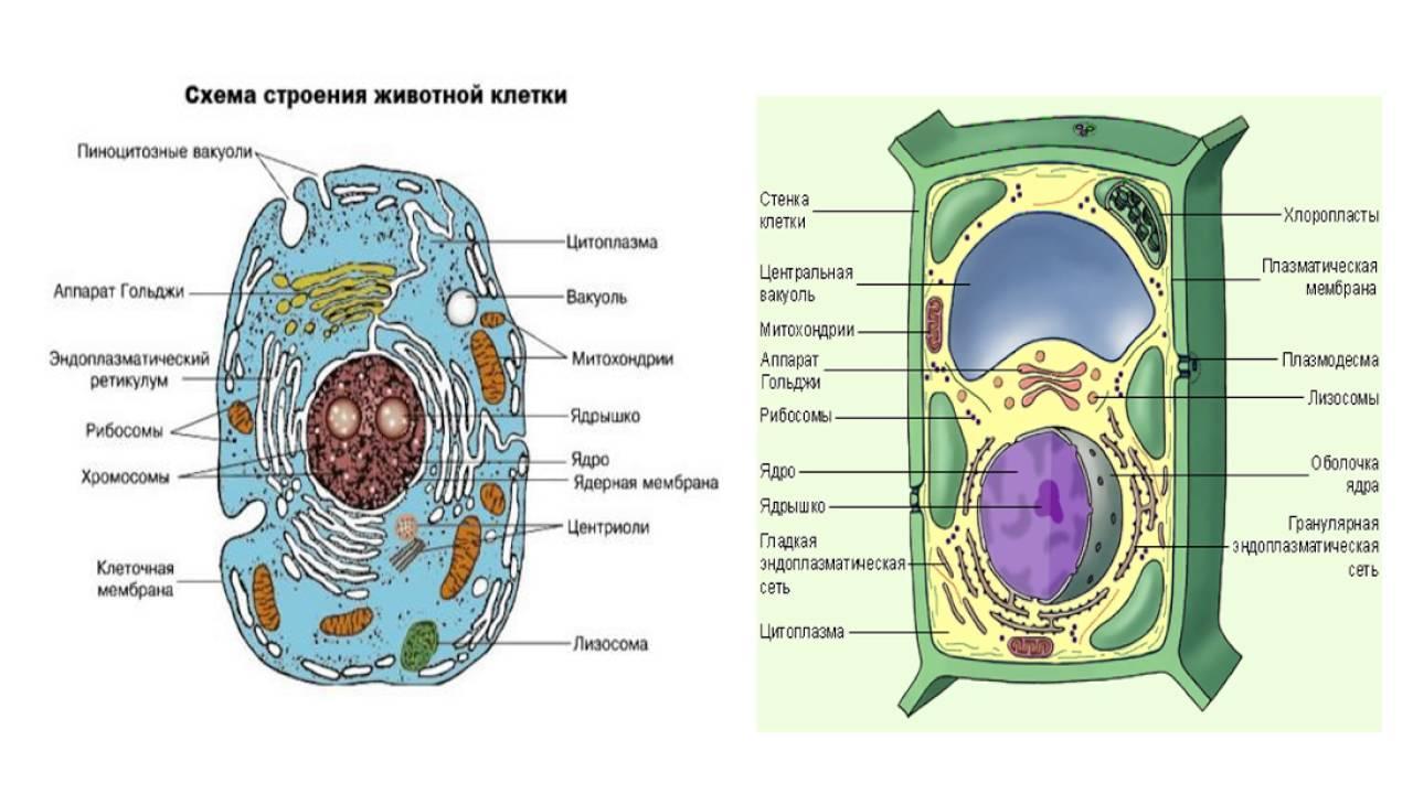внутренней клетка состав картинки хороший смартфон можно