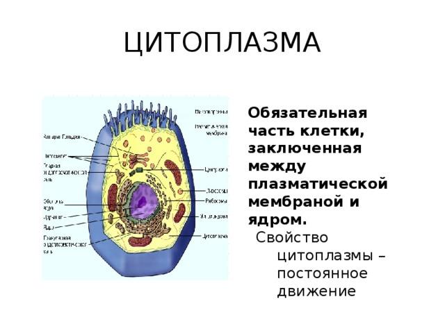 Доклад про ядро клетки 7988