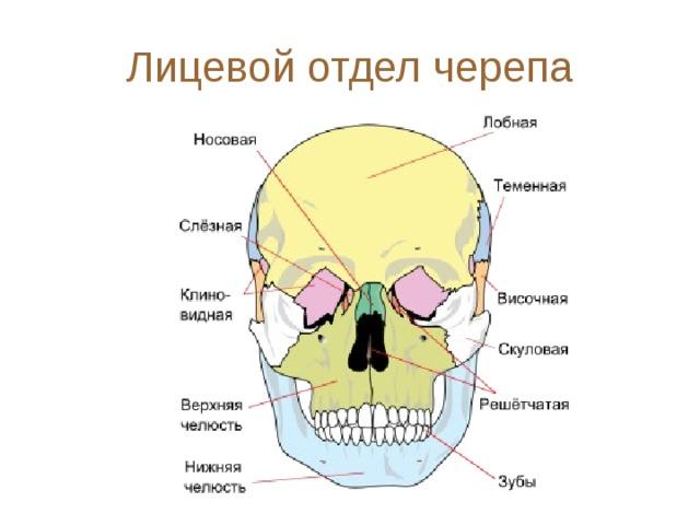 это очень строение черепа и его кости в картинках самолетов