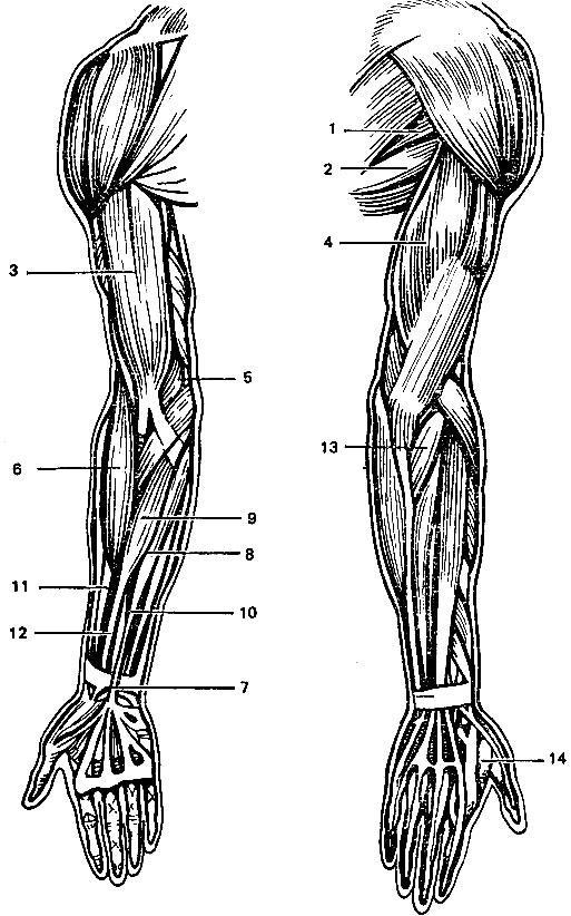 Мышцы верхней конечности человека в картинках