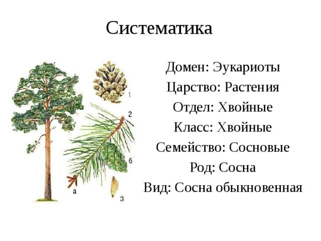 Систематика Домен: Эукариоты Царство: Растения Отдел: Хвойные Класс: Хвойные Семейство: Сосновые Род: Сосна Вид: Сосна обыкновенная