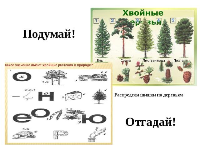 Подумай! Распредели шишки по деревьям Отгадай!