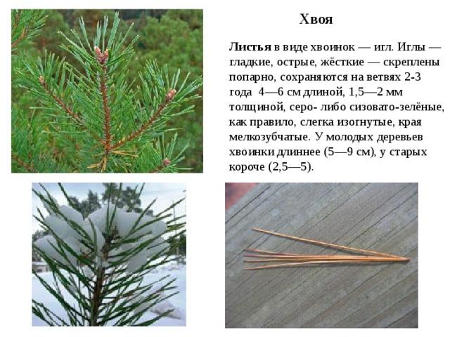Хвоя Листья в виде хвоинок — игл. Иглы — гладкие, острые, жёсткие — скреплены попарно, сохраняются на ветвях 2-3 года 4—6 см длиной, 1,5—2мм толщиной, серо- либо сизовато-зелёные, как правило, слегка изогнутые, края мелкозубчатые. У молодых деревьев хвоинки длиннее (5—9 см), у старых короче (2,5—5).