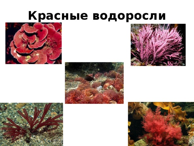 Красные водоросли картинки с подписями