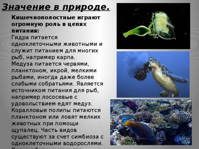 Значение в природе. Кишечнополостные играют огромную роль в цепях питания: Гидра питается одноклеточными животными и служит питанием для многих рыб, например карпа. Медуза питается червями, планктоном, икрой, мелкими рыбами, иногда даже более слабыми собратьями. Является источником питания для рыб, например лососевые с удовольствием едят медуз. Коралловые полипы питаются планктоном или ловят мелких животных при помощи щупалец. Часть видов существуют за счет симбиоза с одноклеточными водорослями. Под симбиозом принято понимать особые взаимоотношения между организмами, при которых пользу извлекают оба партнера или только один. Служат пищей для многих рыб.