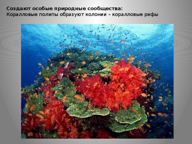 Создают особые природные сообщества: Коралловые полипы образуют колонии – коралловые рифы
