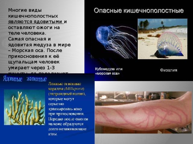 Многие виды кишечнополостных являются ядовитыми и оставляют ожоги на теле человека. Самая опасная и ядовитая медуза в мире – Морская оса. После прикосновения к её щупальцам человек умирает через 1-3 минуты, яд парализует сердечную мышцу.