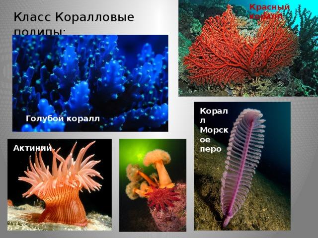 Красный коралл Класс Коралловые полипы: Коралл Морское перо Голубой коралл Актинии