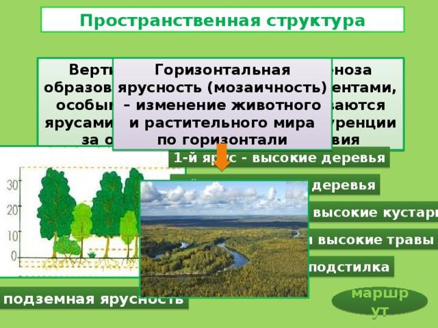 Пространственная структура Вертикальная структура биоценоза образована отдельными его элементами, особыми слоями, которые называются ярусами. Ярусы – результат конкуренции за основные жизненные условия Горизонтальная ярусность (мозаичность) – изменение животного и растительного мира по горизонтали 1-й ярус - высокие деревья 2-й ярус - низкие деревья 3-й ярус - низкие и высокие кустарники 4-й ярус - низкие и высокие травы 5-й ярус - лесная подстилка подземная ярусность маршрут