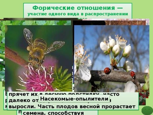Форические отношения  — участие одного вида в распространении другого Дрозд, поедая сочные плоды рябины, калины, боярышника, выделяет через некоторое время с помётом за пределами кормёжки непереваренные семена, способствуя расселению этих растений Поползни, делая запасы семян, иногда забывают о них, чем способствуют прорастанию семян и распространению сосны. Сойка, делая запасы желудей на зиму, прячет их в лесную подстилку, часто далеко от дерева, на котором они выросли. Часть плодов весной прорастает Белка способствует распространению многих растений Насекомые-опылители