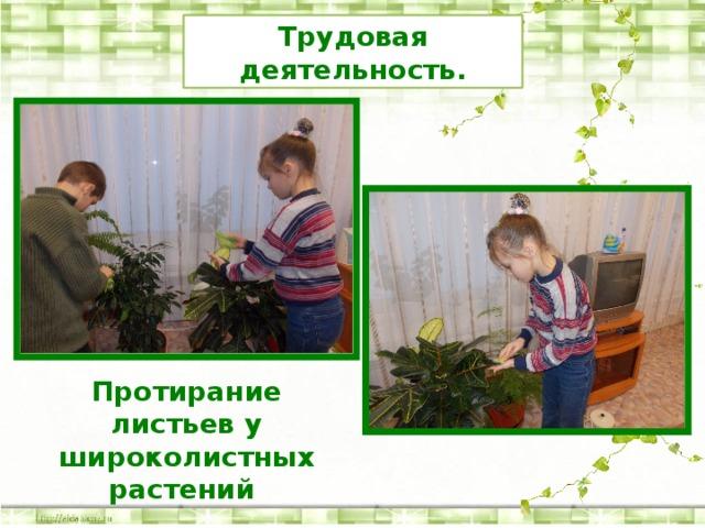 Трудовая деятельность. Протирание листьев у широколистных растений