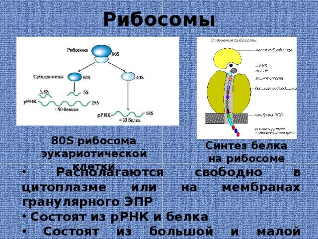 Рибосомы 80S рибосома эукариотической клетки Синтез белка на рибосоме  Располагаются свободно в цитоплазме или на мембранах гранулярного ЭПР  Состоят из рРНК и белка  Состоят из большой и малой субъединиц  Синтез белка происходит на рибосомах