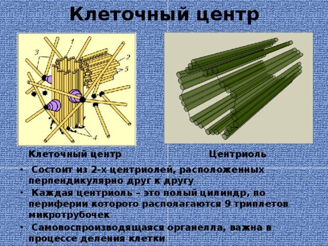 Клеточный центр Клеточный центр Центриоль  Состоит из 2-х центриолей, расположенных перпендикулярно друг к другу  Каждая центриоль – это полый цилиндр, по периферии которого располагаются 9 триплетов микротрубочек  Самовоспроизводящаяся органелла, важна в процессе деления клетки