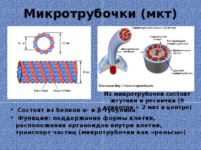 Микротрубочки (мкт) Из микротрубочек состоят жгутики и реснички (9 дуплетов + 2 мкт в центре)  Состоят из белков α- и β-тубулина  Функции: поддержание формы клетки, расположения органоидов внутри клетки, транспорт частиц (микротрубочки как «рельсы»)