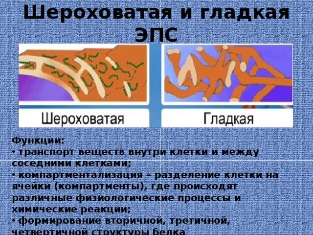 Шероховатая и гладкая ЭПС Функции:  транспорт веществ внутри клетки и между соседними клетками;  компартментализация – разделение клетки на ячейки (компартменты), где происходят различные физиологические процессы и химические реакции;  формирование вторичной, третичной, четвертичной структуры белка  синтез белков, жиров, углеводов.
