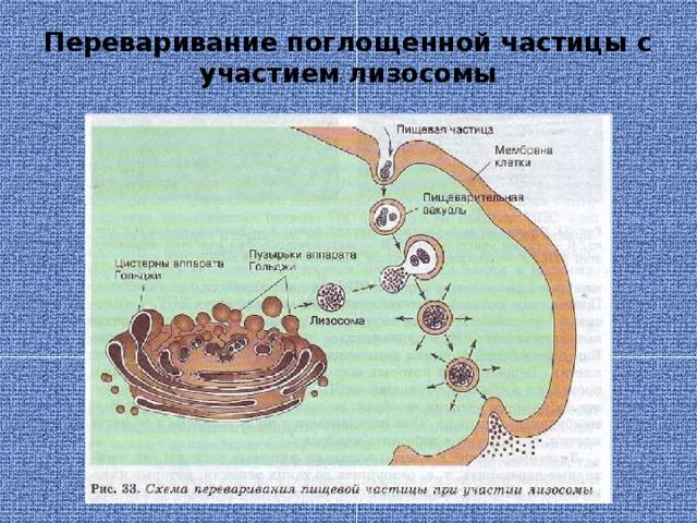 Переваривание поглощенной частицы с участием лизосомы