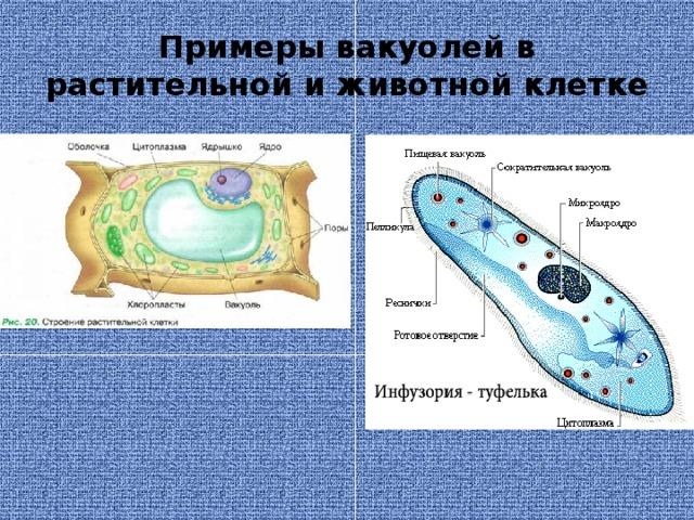 Примеры вакуолей в растительной и животной клетке