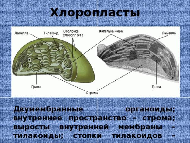Хлоропласты Двумембранные органоиды; внутреннее пространство – строма; выросты внутренней мембраны – тилакоиды; стопки тилакоидов – граны; граны соединены ламеллами.