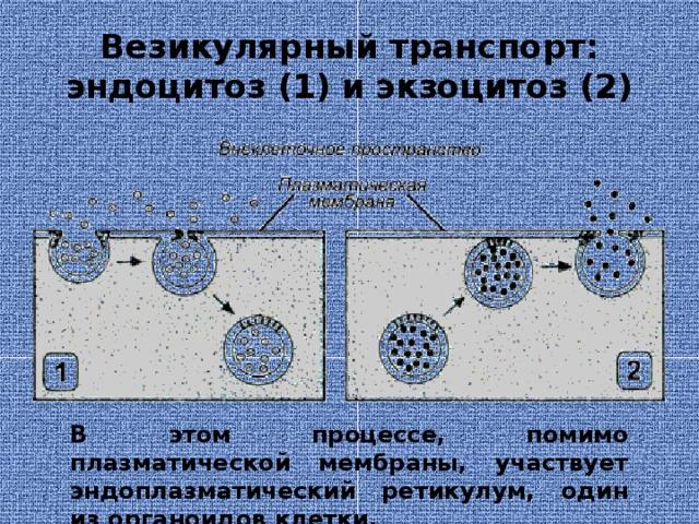 Везикулярный транспорт: эндоцитоз (1) и экзоцитоз (2) В этом процессе, помимо плазматической мембраны, участвует эндоплазматический ретикулум, один из органоидов клетки.