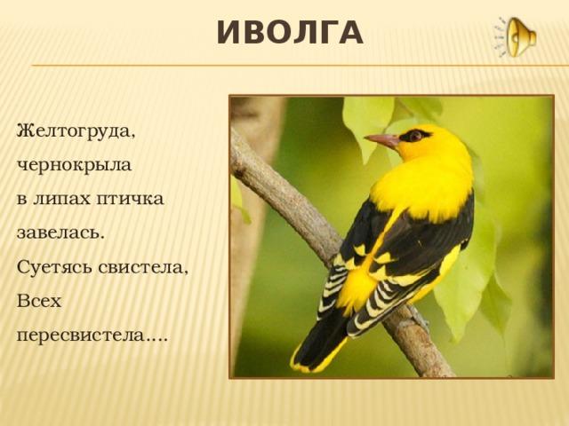 создания иволга фото птицы и описание каких условий хотите