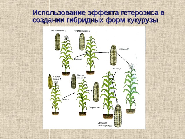 Использование эффекта гетерозиса в создании гибридных форм кукурузы