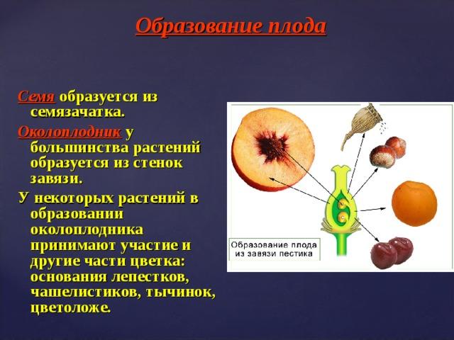 образование семян у растений
