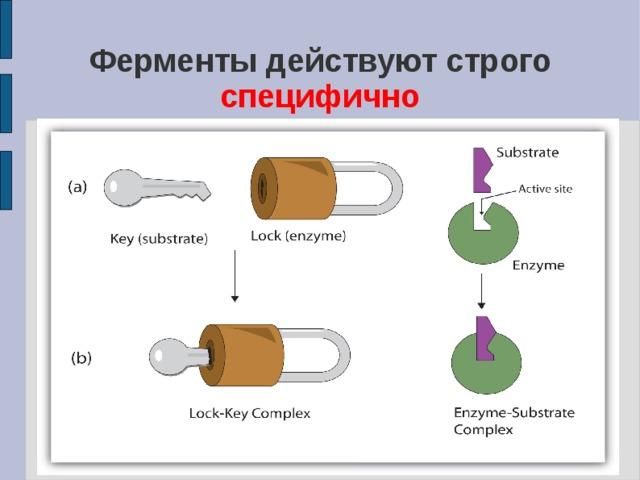 Ферменты действуют строго специфично