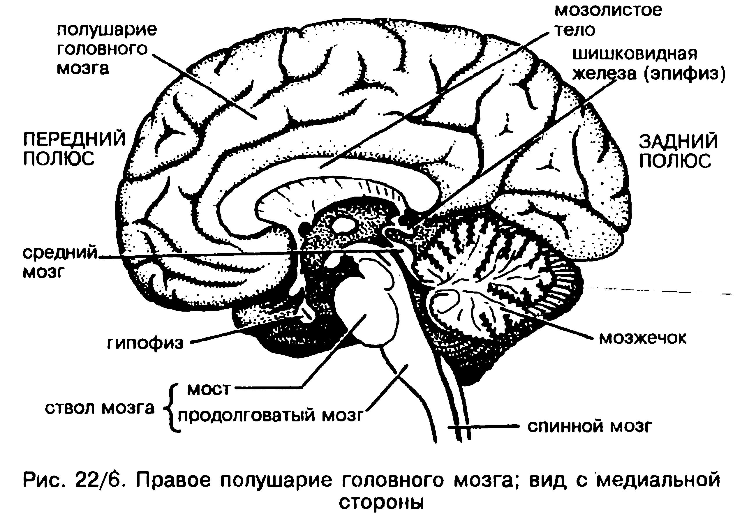 является самым строение мозга человека картинка скаткой