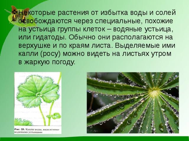Некоторые растения от избытка воды и солей освобождаются через специальные, похожие на устьица группы клеток – водяные устьица, или гидатоды. Обычно они располагаются на верхушке и по краям листа. Выделяемые ими капли (росу) можно видеть на листьях утром в жаркую погоду.